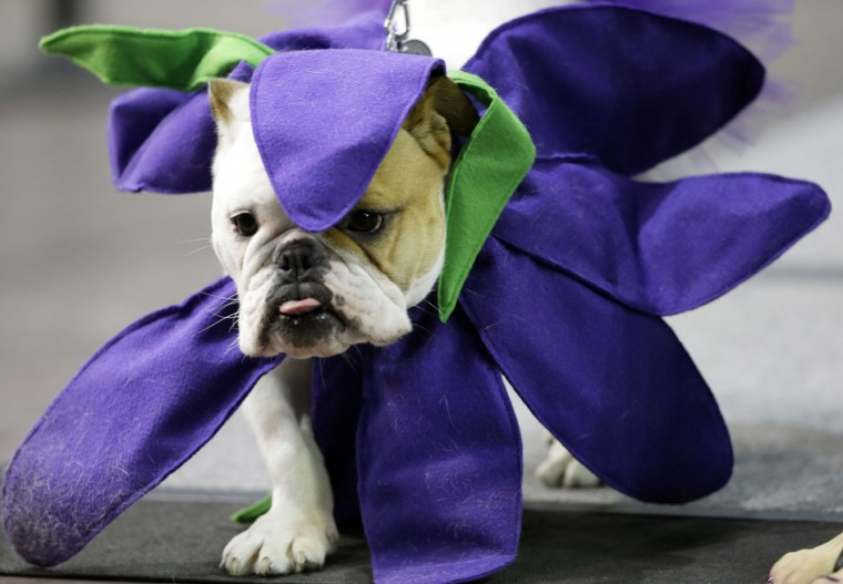 Violet Mae, owned by Brooke Knight, of Des Moines, Iowa, walks across stage during the 37th annual Drake Relays Beautiful Bulldog Contest, Sunday, April 24, 2016, in Des Moines, Iowa. The pageant kicks off the Drake Relays festivities at Drake University where a bulldog is the mascot. (AP Photo/Charlie Neibergall)