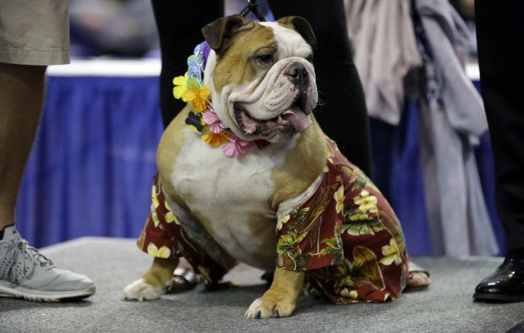 Vincent, owned by Meredith and Chad Green, of Des Moines, Iowa, sits on stage before being crowned the winner of the 37th annual Drake Relays Beautiful Bulldog Contest, Sunday, April 24, 2016, in Des Moines, Iowa. The pageant kicks off the Drake Relays festivities at Drake University where a bulldog is the mascot. (AP Photo/Charlie Neibergall)