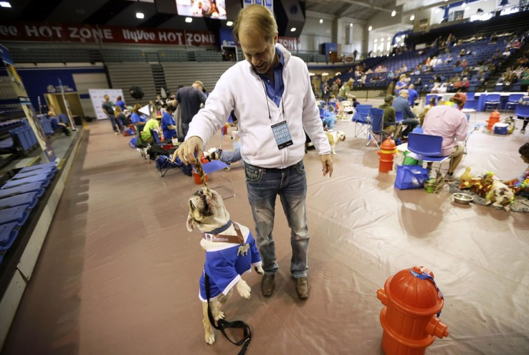 Bruce Myers, of Des Moines, Iowa, gives his bulldog Steve a treat during the 37th annual Drake Relays Beautiful Bulldog Contest, Sunday, April 24, 2016, in Des Moines, Iowa. The pageant kicks off the Drake Relays festivities at Drake University where a bulldog is the mascot. (AP Photo/Charlie Neibergall)