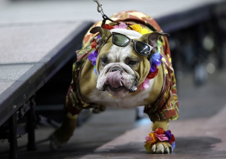 Vincent, owned by Chad and Meredith Green, of Des Moines, Iowa, walks off the stage during the 37th annual Drake Relays Beautiful Bulldog Contest, Sunday, April 24, 2016, in Des Moines, Iowa. The pageant kicks off the Drake Relays festivities at Drake University where a bulldog is the mascot. (AP Photo/Charlie Neibergall)