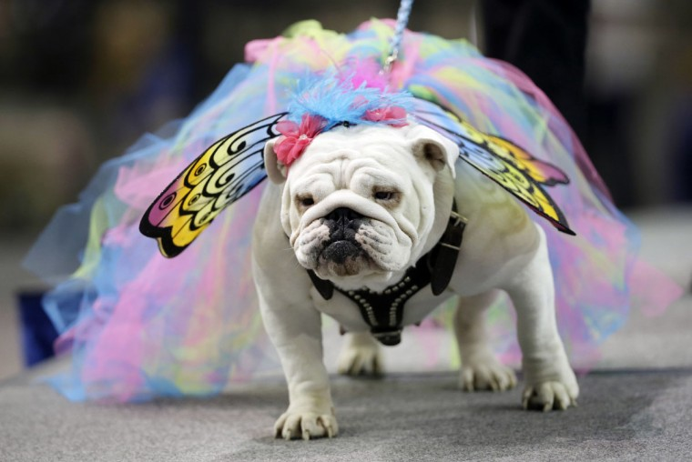 China, owned by Pedro Baeza, of Des Moines, Iowa, walks on the stage during the 37th annual Drake Relays Beautiful Bulldog Contest, Sunday, April 24, 2016, in Des Moines, Iowa. The pageant kicks off the Drake Relays festivities at Drake University where a bulldog is the mascot. (AP Photo/Charlie Neibergall)
