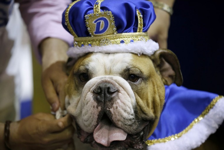 Vincent, owned by Meredith and Chad Green, of Des Moines, Iowa, sits on the throne after being crowned the winner of the 37th annual Drake Relays Beautiful Bulldog Contest, Sunday, April 24, 2016, in Des Moines, Iowa. The pageant kicks off the Drake Relays festivities at Drake University where a bulldog is the mascot. (AP Photo/Charlie Neibergall)