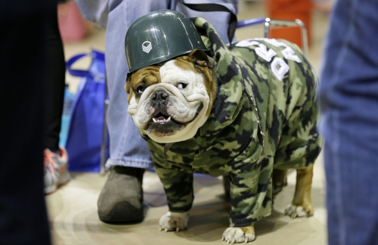 Tank, owned by Duane Smith, of Des Moines, Iowa, waits to be judged during the 36th annual Drake Relays Beautiful Bulldog Contest, Sunday, April 19, 2015, in Des Moines, Iowa. The pageant kicks off the Drake Relays festivities at Drake University where a bulldog is the mascot. (AP Photo/Charlie Neibergall)