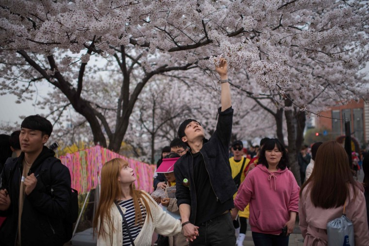 In a photo taken on April 6, 2016 a couple pick cherry blossoms on Yeouido island in Seoul. The annual cherry blossom festival on Yeouido island in central Seoul runs from April 1-10. (ED JONES/AFP/Getty Images)