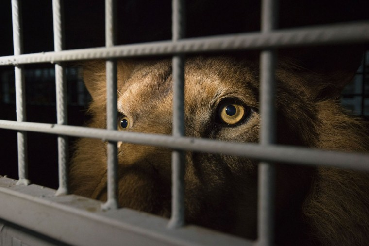 An African lion is seen in a cage as lions, that were born in captivity and held in circuses in South America, arrive at the OR Tambo International Airport on April 30, 2016 in Johannesburg, South Africa. A massive lion airlift including 33 lions, 24 from circuses in Peru and nine from Colombia, rescued by Animal Defenders International arrived to their homeland after both countries banned the use of wild animals in circuses. Their destination is the natural African bush at Emoya Big Cat Sanctuary, South Africa. (AFP PHOTO/AFP/Getty Images)