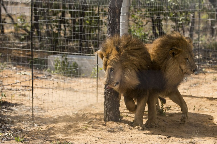 VAALWATER, SOUTH AFRICA - MAY 01: Two sibling lions explore their new enclosure at the Emoya 'Big Cat Sanctuary' on May 1, 2016 in Vaalwater, South Africa. A total of 33 former circus Lions, 22 males and 11 females from Peru and Columbia were airlifted to South Africa yesterday, before being released today to live out their lives on the private reserve in the Limpopo Province. 24 of the animals were rescued in raids on circuses operating in Peru, with the rest voluntarily surrendered by a circus in Colombia after Colombias Congress passed a bill prohibiting circuses from using wild animals. The trip has been coordinated by the animal rights group 'Animal Defenders International'. The animals have been released into small open areas with natural vegetation, something that many of the animals have never experienced before. (Photo by Dan Kitwood/Getty Images)
