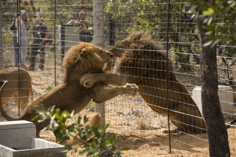 VAALWATER, SOUTH AFRICA - MAY 01: Two Lions squabble through the fence of their new enclosure at the Emoya 'Big Cat Sanctuary' on May 1, 2016 in Vaalwater, South Africa. A total of 33 former circus Lions, 22 males and 11 females from Peru and Columbia were airlifted to South Africa yesterday, before being released today to live out their lives on the private reserve in the Limpopo Province. 24 of the animals were rescued in raids on circuses operating in Peru, with the rest voluntarily surrendered by a circus in Colombia after Colombias Congress passed a bill prohibiting circuses from using wild animals. The trip has been coordinated by the animal rights group 'Animal Defenders International'. The animals have been released into small open areas with natural vegetation, something that many of the animals have never experienced before. (Photo by Dan Kitwood/Getty Images)