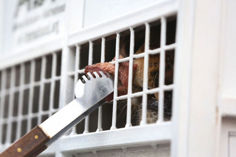 A former circus lion is given a piece of meat to lick, held outside its cage to help sooth it before it's transported to South Africa, at the port in Callao, Peru, Friday, April 29, 2016. Thirty-three lions rescued from circuses in Peru and Colombia are heading back to their homeland to live out the rest of their lives in a private sanctuary in South Africa. The operation is the largest ever airlift of lions, organized and paid for by Animal Defenders International (ADI). (AP photo/Martin Mejia)