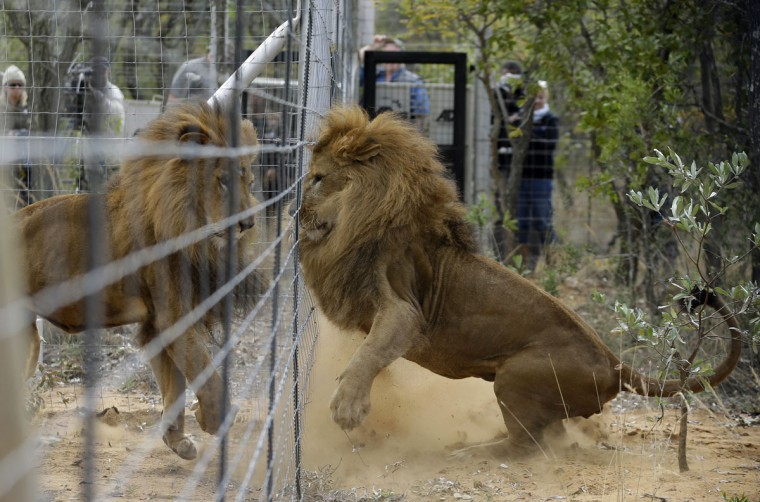 Former circus lions plays after being released into an enclosure at Emoya Big Cat Sanctuary in Vaalwater, northern, South Africa, Sunday, May 1, 2016. Thirty-three lions rescued from circuses in Peru and Colombia are heading back to their homeland to live out the rest of their lives in a private sanctuary in South Africa. The operation is the largest ever airlift of lions, organized and paid for by Animal Defenders International. (AP Photo/Themba Hadebe)