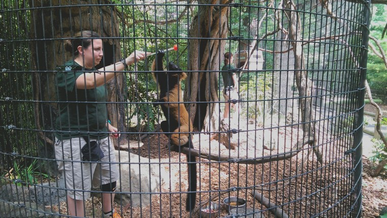 Zoo staff training a a Red ruffed lemur. In the wintertime these animals can be shifted into an indoor exhibit more easily after being trained. (Brian O'Doherty)
