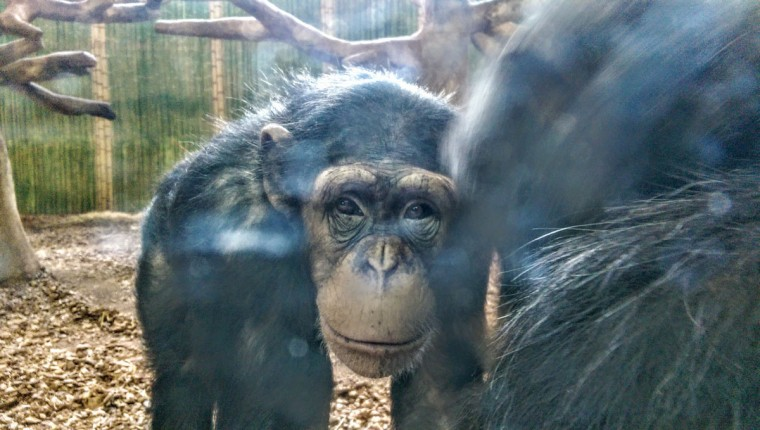 """Chimps can be very serene one minute and then energetic the next. """"It's collective,"""" O'Doherty says. """"They all get rowdy and worked up at the same time... They're very aware of each others emotions and energy."""" (Brian O'Doherty)"""