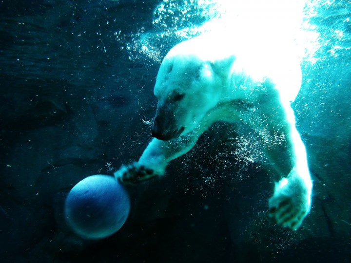 The Zoo's polar bear, Anoki, loves the snow, O'Doherty says, and becomes even more playful than usual during a blizzard. (Brian O'Doherty)
