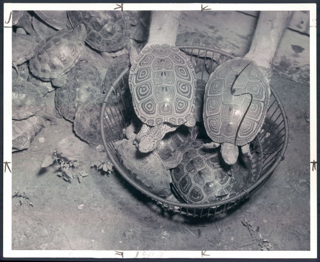 November 14, 1948-Miles Hancock and terrapins. November 14, 1948- A terp on its way to becoming stew. (Bodine/Baltimore Sun)