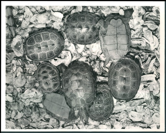 Terrapins in 1962. (Bodine/Baltimore Sun)