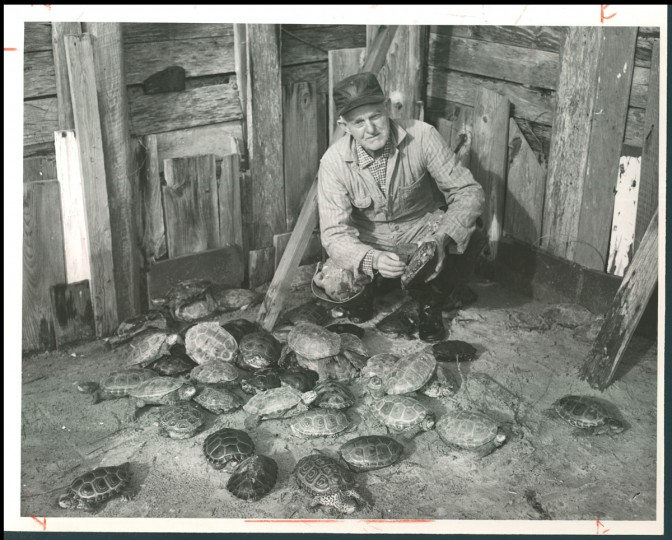 "February 18, 1962 - Miles Hancock and part of his terrapin ""herd."" A Chincoteague Islander he rounds up terrapin in nearby marshes and sells up to 4,000 in a year. (Bodine/Baltimore Sun)"