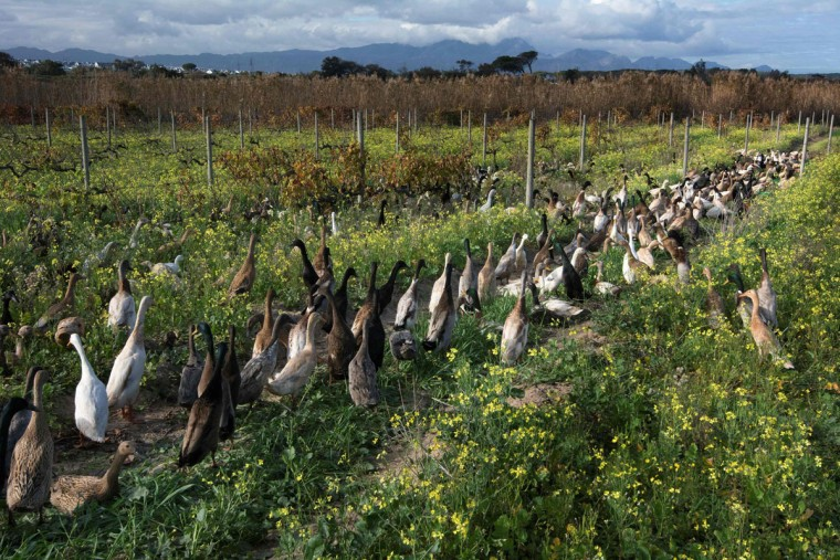 A picture taken at Vergenoegd wine estate on June 3, 2016 near Stellenbosch shows a trained duck-herd of approximately 1000 Indian Runner ducks on their way to the vineyards. The ducks eat snails and other pests which threaten the grapevines, allowing the farm to avoid using toxic pesticides, and they also fertilise the ground with their droppings. The ducks sleep in an enclosed pen, and are herded out to the vineyards in the day, then for a swim in the dam, and then back to their pen in the late afternoon. (AFP Photo/Rodger Bosch)