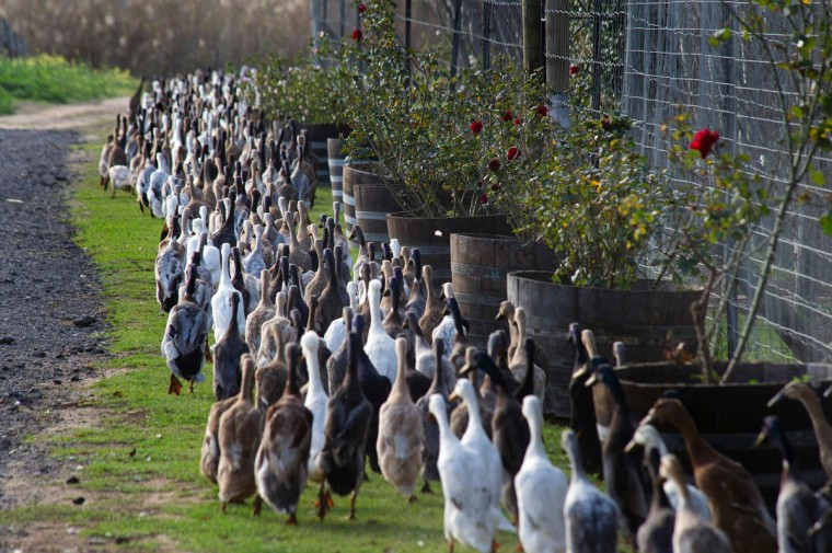 A trained duck-herd of approximately 1000 Indian Runner ducks pass the manor house, on their way to the vineyards, as tourists watch at Vergenoegd wine estate on June 3, 2016 near Stellenbosch. The ducks eat snails and other pests which threaten the grapevines, allowing the farm to avoid using toxic pesticides, and they also fertilise the ground with their droppings. The ducks sleep in an enclosed pen, and are herded out to the vineyards in the day, then for a swim in the dam, and then back to their pen in the late afternoon. (AFP Photo/Rodger Bosch)