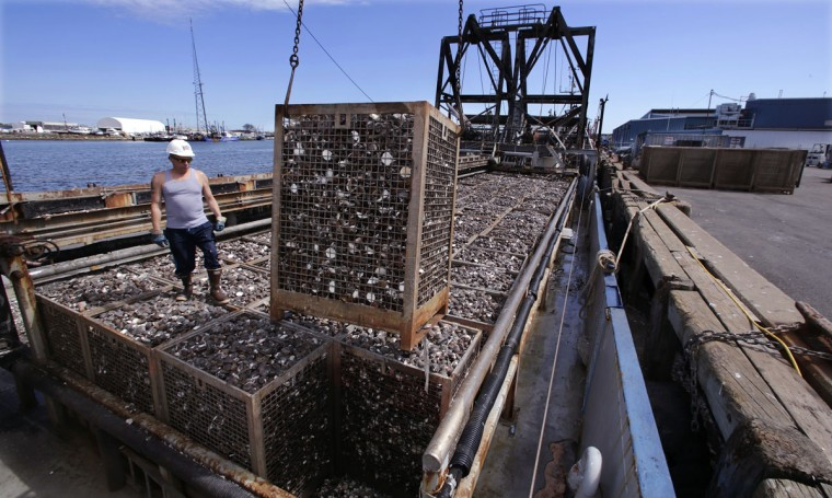 In this Thursday, May 19, 2016 photo, a basket of quahog clams are offloaded from the fishing vessel E.S.S. Pursuit after two days at sea, at a dock in New Bedford, Mass. About 10 years ago, clam harvester Mike Mohr started commuting six hours each way from his New Jersey home to New Bedford to follow the clams after they migrated northward. (AP Photo/Charles Krupa)