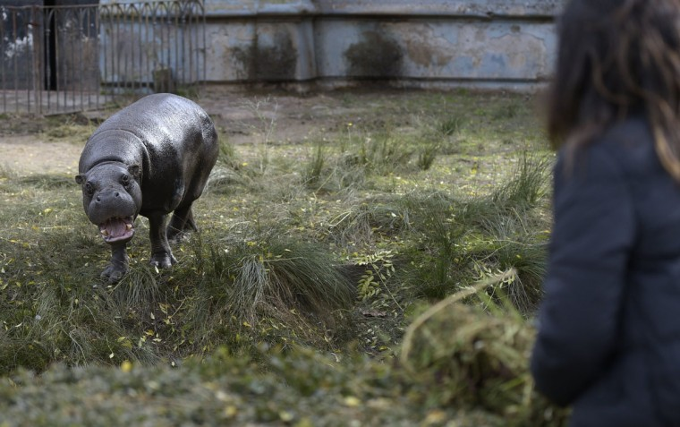 A hippo is seen at Buenos Aires Zoo on June 24, 2016. The zoo will temporary close to become an ecological park. / (AFP Photo/Juan Mabromata)