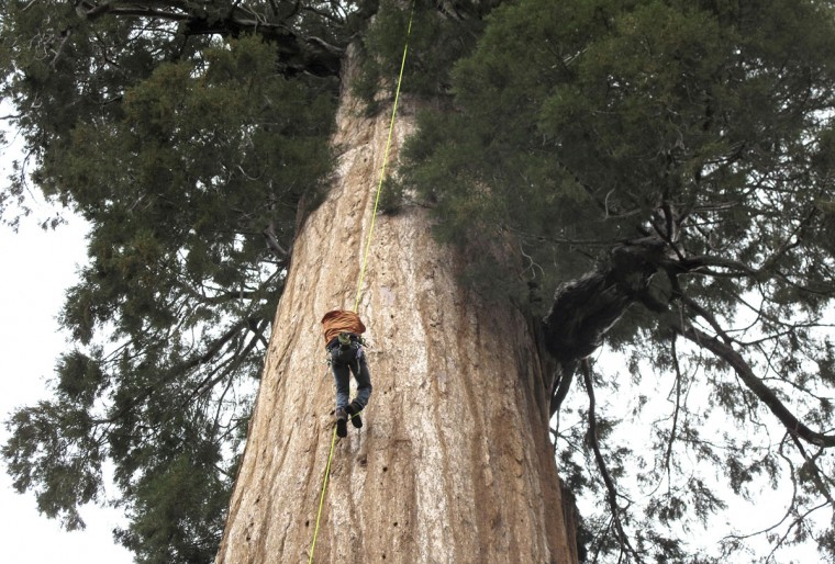 In this May 23, 2016 photo, arborist Jim Clark inches up a giant sequoia to collect new growth from its canopy in the southern Sierra Nevada near Camp Nelson, Calif. Clark volunteers with Archangel Ancient Tree Archive, a nonprofit group that collects genetic samples from ancient trees and clones them in a lab to be planted in the forest. The group believes the giant sequoias and coastal redwoods are blessed with some of the heartiest genetics of any trees on earth and that propagating them will help reverse climate change. (AP Photo/Scott Smith)
