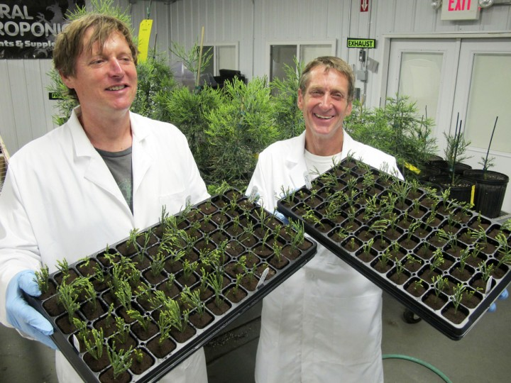 In this May 25, 2016, photo, Tom Brodhagen, left, and Jim Clark hold shows trays of freshly planted tips of cuttings from giant sequoia trees at the Archangel Ancient Tree Archive laboratory in Copemish, Mich. The cuttings were taken from sequoias in California. Archangel leaders say they'll keep the tips in the climate-controlled building, where they can grow large enough to plant in the wild, helping restore forests and fight climate change by storing vast amounts of carbon. (AP Photo/John Flesher)