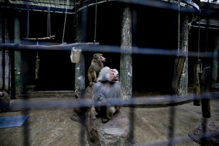 Monkeys stand inside a cage at the former Buenos Aires Zoo in Argentina, Friday, July 1, 2016. The city government announced last week it will transform the city's zoo into an ecological park for a limited number of species, and will begin with the transfer of birds of prey to natural reserves. Their plan to also transform the current site into a conservation and research facility will take years while veterinarians decide which animals can be transferred to local reserves and abroad. Those who stay at the ecological park will live in what officials describe as much better conditions. (AP Photo/Natacha Pisarenko)