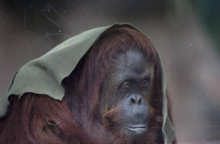 "An orangutan named ""Sandra,"" photographed through a window, sits inside a cage at the former Buenos Aires Zoo in Argentina, Friday, July 1, 2016. The city government announced it will transform the city's zoo into an ecological park for a limited number of species, and will begin with the transfer of birds of prey to natural reserves. Their plan to also transform the current site into a conservation and research facility will take years while veterinarians decide which animals can be transferred to local reserves and abroad. Those who stay at the ecological park will live in what officials describe as much better conditions. (AP Photo/Natacha Pisarenko)"