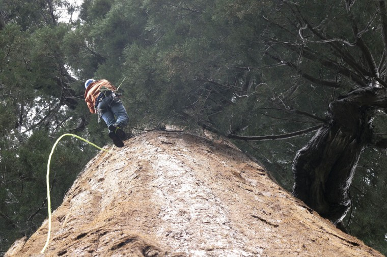 In this May 23, 2016 photo, arborist Jim Clark inches up a giant sequoia to collect new growth from its canopy in the southern Sierra Nevada near Camp Nelson, Calif. Clark volunteers with Archangel Ancient Tree Archives, a nonprofit group that collects genetic samples from ancient trees and clones them in a lab to be planted in the forest. The group believes the giant sequoias and coastal redwoods are blessed with some of the heartiest genetics of any trees on earth and that propagating them will help reverse climate change. (AP Photo/Scott Smith)
