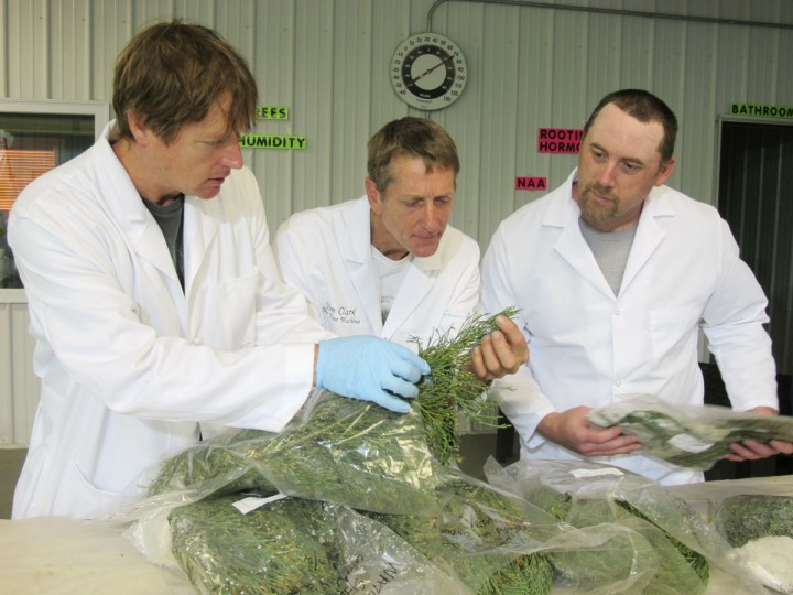 In this May 25, 2016, photo, Tom Brodhagen, left, Jim Clark, center, and Chris Moore examine cuttings from giant sequoia trees in the Archangel Ancient Tree Archive laboratory in Copemish, Mich. The cuttings were taken from an Archangel expedition in California and flown to Michigan, where Brodhagen, Clark and Moore snipped off pieces of greenery and planted them in small containers. The goal is to create thousands of giant sequoia clones that will grow large enough to be planted in the wild, helping restore forests and combat climate change. (AP Photo/John Flesher)