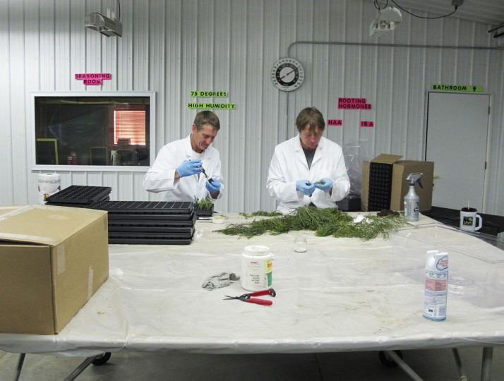 This May 25, 2016, photo shows Jim Clark, left, and Tom Brodhagen of the Archangel Ancient Tree Archive in Copemish, Mich., processing greenery that colleagues had cut from giant sequoia trees in California. Brodhagen selects pieces of the cuttings that can grow into clones of the original trees, while Clark plants them in small containers holding a peat-and-gel mixture. The clones will be stored in a climate-controlled laboratory in Copemish until they are large enough to be planted. The group hopes to plant thousands of genetic copies of ancient trees to restore forests and fight climate change. (AP Photo/John Flesher)