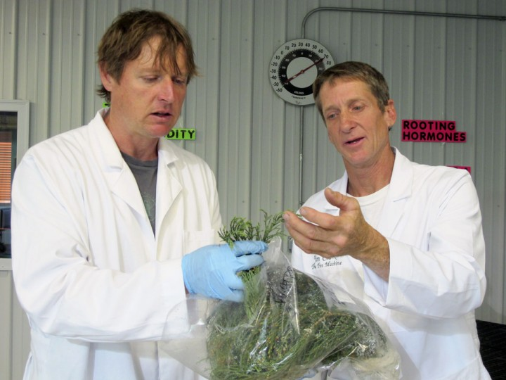 In this May 25, 2016, photo, Tom Brodhagen, left, and Jim Clark examine cuttings from giant sequoia trees in the Archangel Ancient Tree Archive laboratory in Copemish, Mich. The cuttings were taken from an Archangel expedition in California and flown to Michigan, where Brodhagen and Clark snipped off pieces of greenery and planted them in small containers. The goal is to create thousands of giant sequoia clones that will grow large enough to be planted in the wild, helping restore forests and combat climate change. (AP Photo/John Flesher)