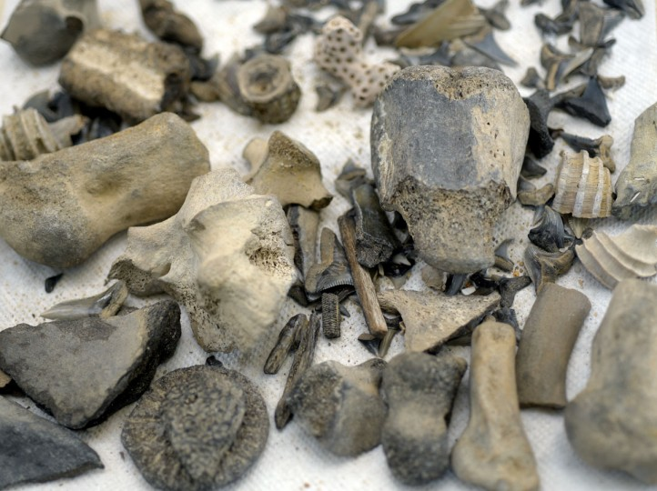 According to the Maryland Department of Natural Resources, over 600 species from the middle of the Miocene period 15 million years ago have been found at Calvert Cliffs. The large bone towards the center right is from a crocodile. The fossils in the lower right corner are dolphin bones. (Algerina Perna/Baltimore Sun)