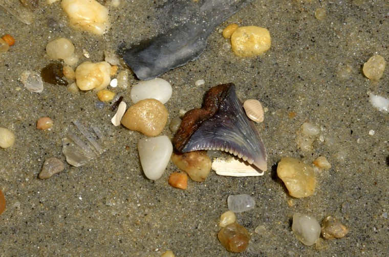 """A Hemipristus tooth with sharp serrations lies on the beach at Calvert Cliffs. Robert Hazen, Senior staff scientist at the Carnegie Institution and Robinson Professor of Earth Science at George Mason University, says, """"They're biting teeth; they're tearing teeth, they're stabbing teeth"""" from a Snaggletooth Shark which lived 15 million years ago during the Miocene era. (Algerina Perna/Baltimore Sun)"""