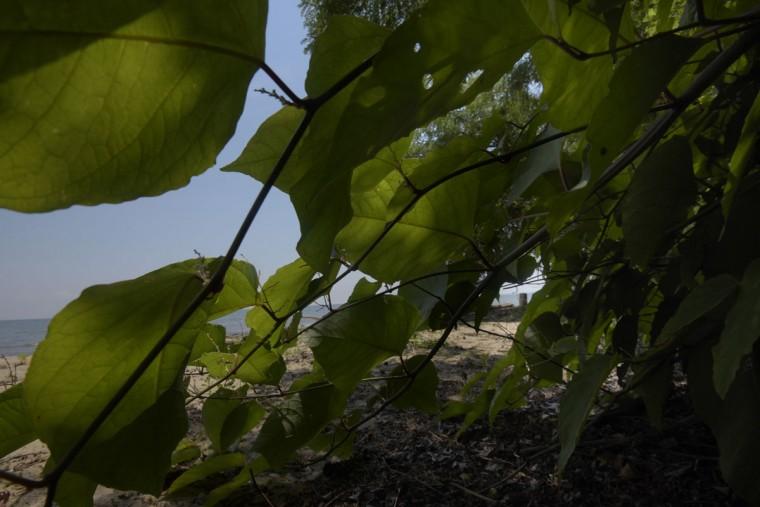 Lush vegetation grows very low along the beach at Calvert Cliffs. (Algerina Perna/Baltimore Sun)