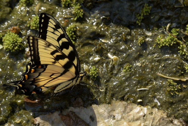 A butterfly alights on moss which covers blue marl, a geologic formation that contains clay of which the Calvert Cliffs are composed. (Algerina Perna/Baltimore Sun)