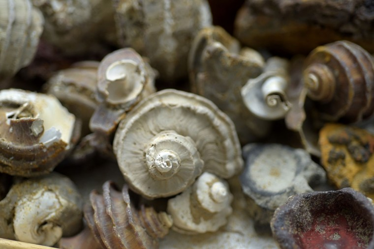 For twenty-five years, scientist Robert Hazen and writer Margaret Hazen, his wife, have been collecting and studying fossils from the Calvert Cliffs. Pictured are a collection of Ecphora gardnerae, the Maryland state fossil, the shells of snails that lived 15 million years ago in the Miocene period. (Algerina Perna/Baltimore Sun)