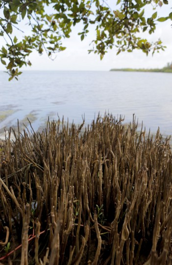 In this July 18, 2016 photo, a spread of mangrove roots are seen on the bank of a lagoon surrounded by mangrove forests in Palavi, about 90 kilometers (56 miles) north of Colombo, Sri Lanka. Sri Lanka's government and environmentalists are working to protect tens of thousands of acres of mangrove forests _ the seawater-tolerant trees that help protect and build landmasses, better absorb carbon from the environment mitigating effects of global warming and reducing impact of natural disasters like tsunamis. Authorities have identified about 37,000 acres (15,000 hectares) of mangrove forests in Sri Lanka that are earmarked for preservation. (AP Photo/Eranga Jayawardena)