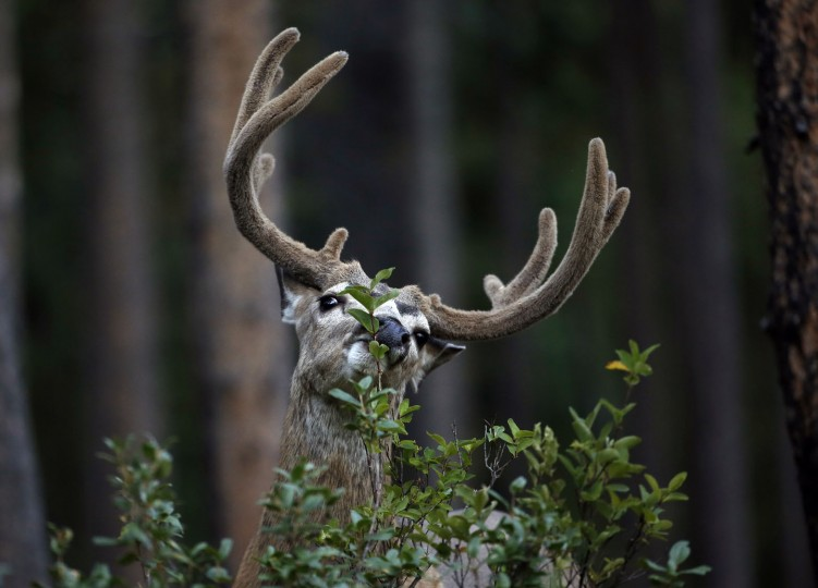 A buck forages for edible leaves in Grand Teton National Park, Wyo., Thursday, Aug 25, 2016. Thursday marks the 100th anniversary of the National Park Service. (AP Photo/Brennan Linsley)