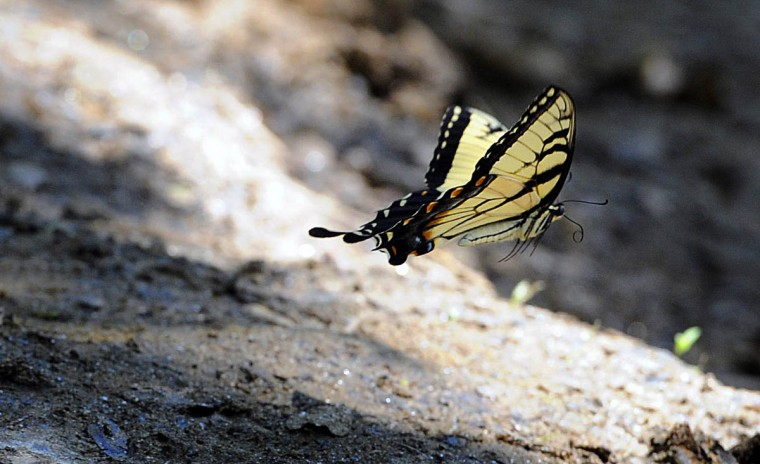 A Tiger swallowtail flies low along a trail in the central area of the Gunpowder Falls State Park. (Kim Hairston, Baltimore Sun)