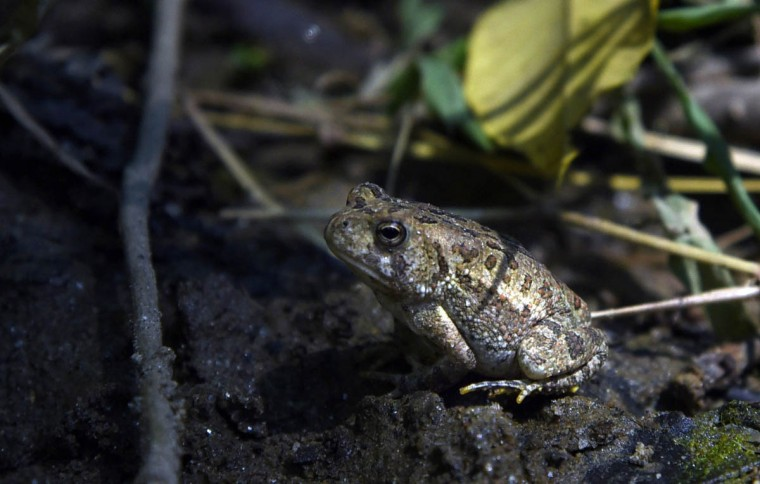 An American toad moves into the shadows, Observing the summer light while walking along a trail in the central area of the Gunpowder Falls State Park. (Kim Hairston, Baltimore Sun)