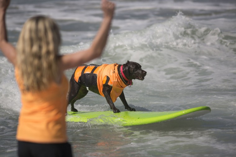 HUNTINGTON BEACH, CA - SEPTEMBER 25: A surfing dog rides a wave during the Surf Dog Competition at the 8th annual Petco Surf City Surf Dog event on September 25, 2016 in Huntington Beach, California. Dogs owners are expect to attend the dog surfing competition from as far as Florida, Australia and Brazil. (Photo by David McNew/Getty Images)