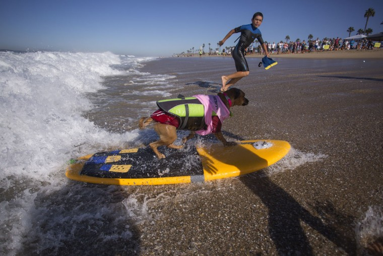 HUNTINGTON BEACH, CA - SEPTEMBER 25: A surfing dog reaches the beach at the end of a ride at the Surf Dog Competition at the 8th annual Petco Surf City Surf Dog event on September 25, 2016 in Huntington Beach, California. Dogs owners are expected to attend the dog surfing competition from as far as Florida, Australia and Brazil. (Photo by David McNew/Getty Images)