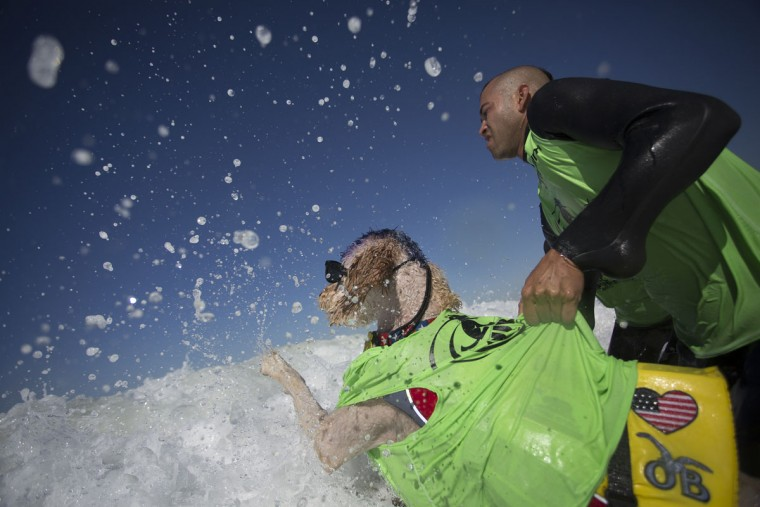 HUNTINGTON BEACH, CA - SEPTEMBER 25: A surfing dog named Derby gets help fighting through incoming surf to go out to catch waves during the Surf Dog Competition at the 8th annual Petco Surf City Surf Dog event on September 25, 2016 in Huntington Beach, California. Dogs owners are expect to attend the dog surfing competition from as far as Florida, Australia and Brazil. (Photo by David McNew/Getty Images)