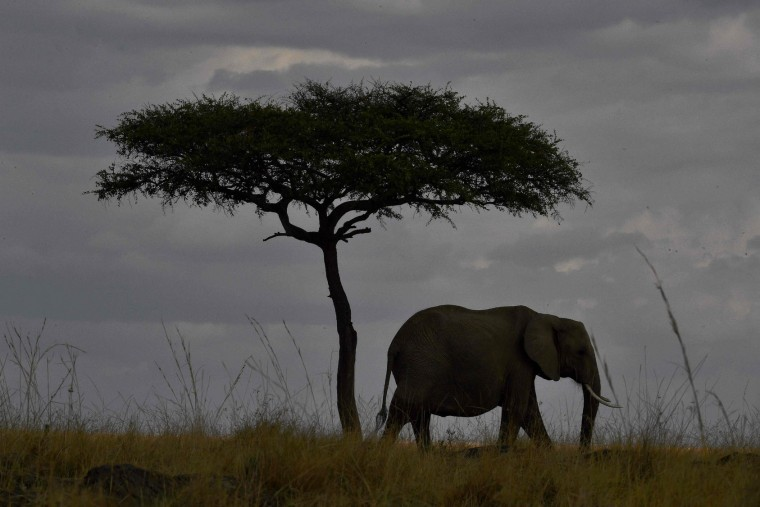 An elephant walks past a tree during the annual wildebeest migration in the Masai Mara game reserve on September 12, 2016. (Carl de Souza/AFP/Getty Images)