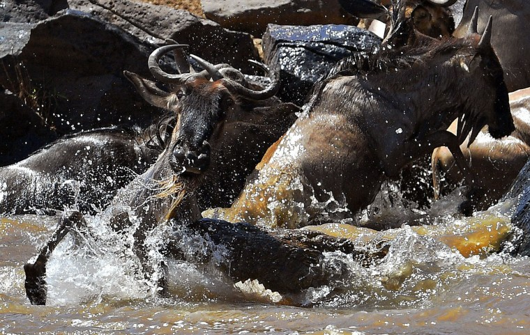 A crocodile attacks a wildebeest in the Mara river during the annual wildebeest migration in the Masai Mara game reserve on September 13, 2016. (Carl de Souza/AFP/Getty Images)