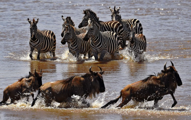 Zebras walk towards crossing wildebeest in the Mara river during the annual wildebeest migration in the Masai Mara game reserve on September 13, 2016. (Carl de Souza/AFP/Getty Images)