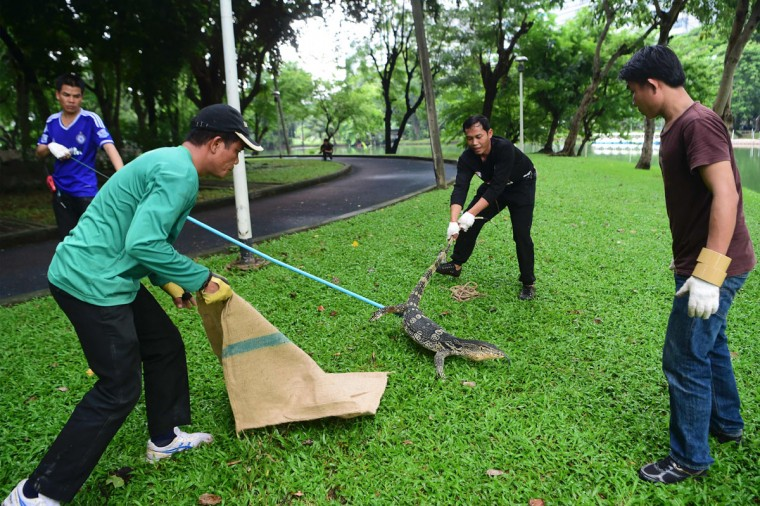 "Park officials try to capture a monitor lizard in Lumpini park in Bangkok on September 20, 2016. The hulking, prehistoric-looking monitor lizards that stalk the grounds of Bangkok's Lumpini park have long triggered fascination -- and fear -- from visitors to the city centre's main green space. But with their population soaring out of control to some 400, city officials are on a mission to bait and bag some of the meaty reptiles known as ""hia"" -- a noun which doubles as the most powerful swear word in Thai. (AFP PHOTO / MUNIR UZ ZAMAN)"