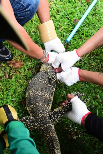 "Park officials hold the head and legs of a monitor lizard as they tie its mouth in Lumpini park in Bangkok on September 20, 2016. The hulking, prehistoric-looking monitor lizards that stalk the grounds of Bangkok's Lumpini park have long triggered fascination -- and fear -- from visitors to the city centre's main green space. But with their population soaring out of control to some 400, city officials are on a mission to bait and bag some of the meaty reptiles known as ""hia"" -- a noun which doubles as the most powerful swear word in Thai. (AFP PHOTO / MUNIR UZ ZAMAN)"