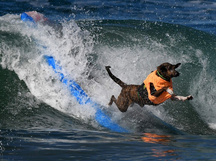 A surf dog wipes out during the 8th annual Surf City Surf Dog event at Huntington Beach, California on September 25, 2016. Dogs, big and small, and some in tandem braved the large swell that greeted them at the iconic event. (AFP PHOTO / Mark RALSTON)