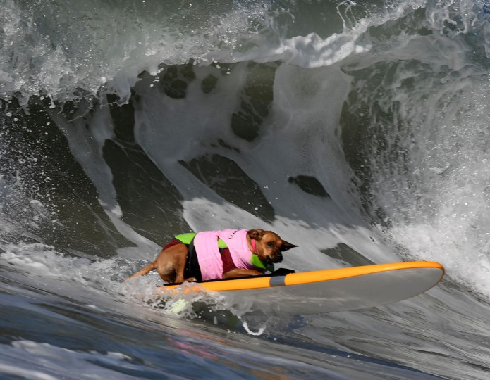 A surf dog catches a large wave during the 8th annual Surf City Surf Dog event at Huntington Beach, California on September 25, 2016. Dogs, big and small, and some in tandem braved the large swell that greeted them at the iconic event. (AFP PHOTO / Mark RALSTON)